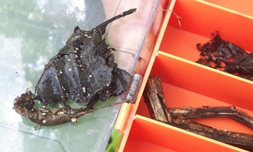 2017 06 07  Ciboria Conformata  (sådana svampar var det )